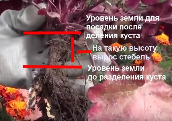 Деленка гейхеры с корнем, выпирающим из почвы