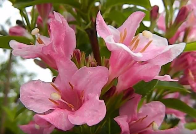 цветки вейгелы