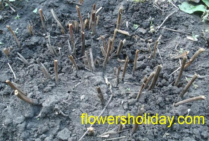 обрезанные стебли пиона осенью