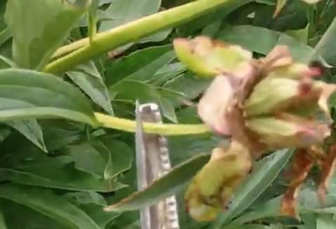 обрезка пиона после цветения